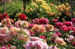 Создание розария в саду своими руками. Выбор места на даче и сорта роз, подготовка участка. Фото дизайна