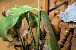 Спатифиллум: чернеют и сохнут кончики листьев? Проблемы выращивания спатифиллума