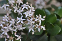 Денежное дерево – цветение: когда начинается и какой нужен уход. Почему не цветет толстянка