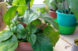Гибискус: желтеют и опадают листья. Проблемы выращивания гибискуса