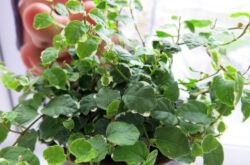 Фикус карликовый – уход в домашних условиях. Выращивание карликового фикуса, пересадка и размножение. Описание. Фото