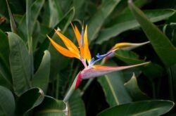 Растение стрелиция