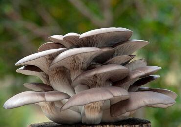 Как вырастить грибы вешенки. Выращивание грибов вешенок в домашних условиях