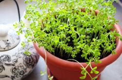 Как вырастить кресс-салат на подоконнике. Выращивание кресс-салата в домашних условиях