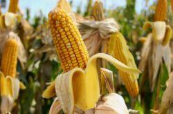 Кукуруза – выращивание из семян. Посадка и уход за кукурузой в открытом грунте