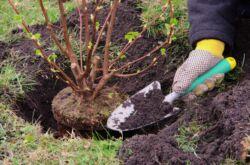 Выращивание гиацинтов в домашних условиях