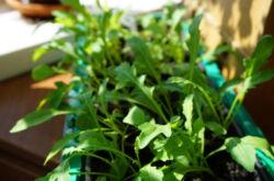 Как вырастить рукколу на подоконнике. Выращивания рукколы в домашних условиях