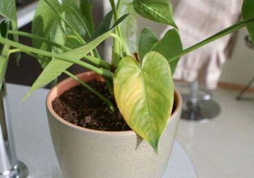 Почему желтеют листья у антуриума: причины, что делать?