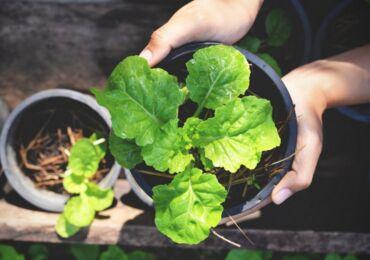 Выращивание салата в домашних условиях