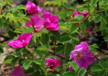 Шиповник – дикая роза. Культурный шиповник: описание, виды, сорта и современные гибриды