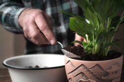 Размножение спатифиллума черенками, семенами, делением куста