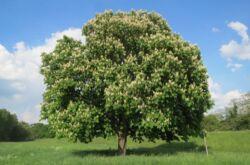 Растение каштан
