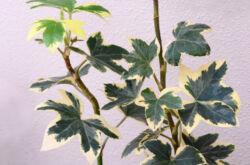Фатсхедера – уход в домашних условиях. Выращивание фатсхедеры, пересадка и размножение. Описание. Фото