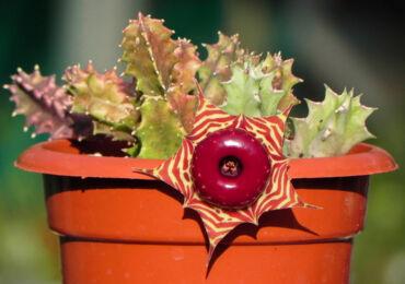 Гуэрния – уход в домашних условиях. Выращивание гуэрнии, пересадка и размножение. Описание, виды. Фото