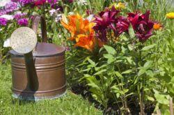 Подкормка лилий весной. Чем и когда подкармливать лилии во время цветения