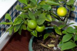 Удобрения для лимона. Чем подкормить лимон в домашних условиях