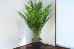 Арека – уход в домашних условиях. Выращивание пальмы арека, пересадка и размножение. Описание, виды. Фото