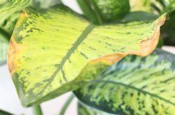 Почему у диффенбахии сохнут и желтеют листья? Болезни диффенбахии, как помочь растению