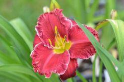Растение лилейник
