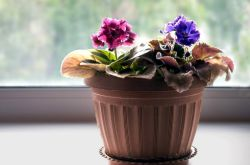 Почему желтеют листья у цикламена? Как спасти растение в домашних условиях