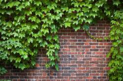 Декоративный виноград для вертикального озеленения сада