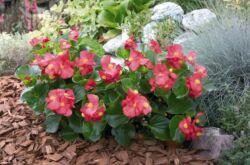 Бегония садовая – посадка и уход в открытом грунте. Выращивание садовой бегонии, способы размножения. Описание. Фото