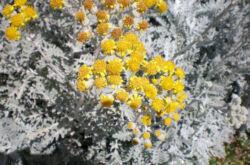 Цинерария приморская – посадка и уход в открытом грунте. Выращивание цинерарии, способы размножения. Описание. Фото