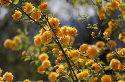 Керрия японская – посадка и уход в открытом грунте. Выращивание керрии, способы размножения. Описание, виды. Фото