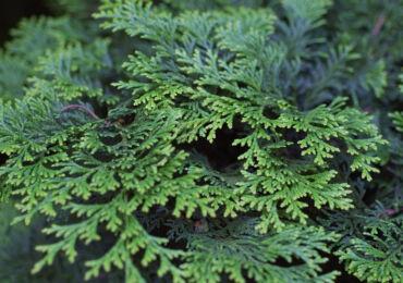 Кипарисовик – посадка и уход в открытом грунте. Выращивание кипарисовика, способы размножения. Описание, виды. Фото