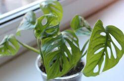 Размножение монстеры – черенками, отводками, листьями