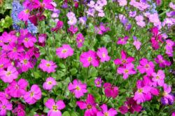 Цветок обриета – посадка и уход в открытом грунте. Выращивание обриеты из семян, способы размножения. Описание, виды. Фото