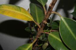 У замиокулькаса желтеют и сохнут листья. Проблемы с замиокулькасом и их решение