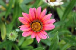 Цветок гацания – посадка и уход в открытом грунте. Выращивание гацании из семян, способы размножения. Описание, виды. Фото