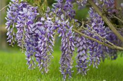 Растение глициния
