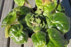У фиалки желтеют листья: что делать, как ухаживать за сенполиями?