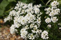 Цветок иберис – посадка и уход в открытом грунте. Выращивание ибериса из семян, способы размножения. Описание, виды. Фото