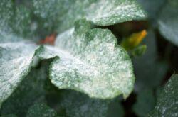 Налет на листьях растений – как избавиться, причины появления. Белый и черный налет на листьях, рыжий налет