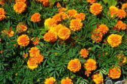 Цветы бархатцы – посадка и уход в открытом грунте. Выращивание бархатцев из семян, способы размножения. Описание, виды. Фото