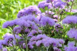 Растение агератум
