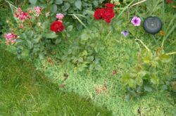 Низкорослые многолетние цветы, устойчивые к вытаптыванию