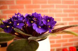 Фиалки в доме – приметы: хорошие и плохие. Суеверия, связанные с выращиванием фиалок