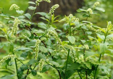 Итея виргинская – посадка и уход в открытом грунте. Выращивание итеи, способы размножения. Описание, виды. Фото