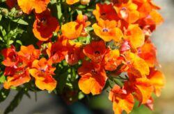 Немезия – посадка и уход в открытом грунте. Выращивание немезии из семян, способы размножения. Описание, виды. Фото