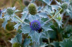 Синеголовник – посадка и уход в открытом грунте. Выращивание синеголовника из семян, способы размножения. Описание, виды. Фото