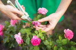 Обрезка комнатной розы – когда и как правильно обрезать