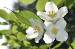 Чубушник – посадка и уход в открытом грунте. Выращивание чубушника, способы размножения. Описание, виды. Фото