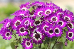 Растение цинерария