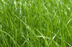 Райграс многолетний пастбищный – посадка и уход в открытом грунте. Выращивание райграса из семян. Описание, виды. Фото