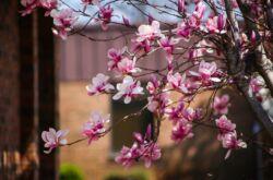 Магнолия – посадка и уход в открытом грунте. Выращивание дерева магнолии, способы размножения. Описание, виды. Фото