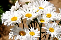 Ромашки – посадка и уход в открытом грунте. Выращивание ромашки из семян, способы размножения. Описание, виды. Фото